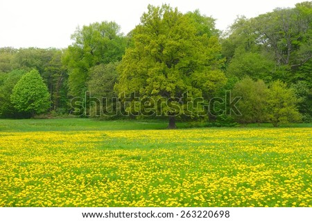 Dandelion field with trees in forest - stock photo