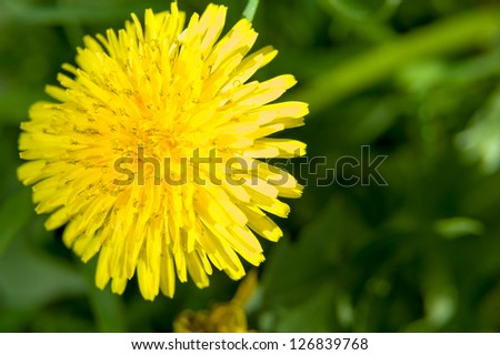 Dandelion Flower - stock photo