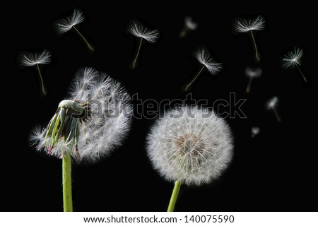 Dandelion flower and flying seeds on black background. - stock photo
