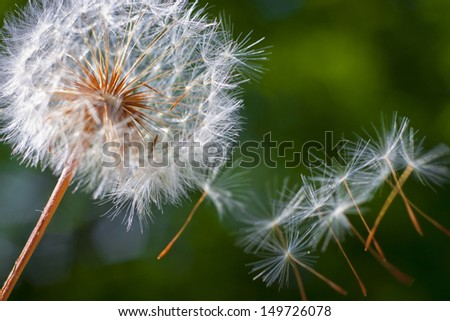 Dandelion flower at sunset. Close-up - stock photo