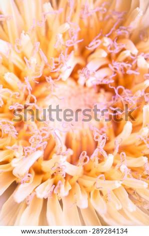 Dandelion flower close-up - stock photo