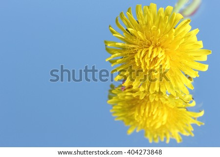 dandelion flower close up in blue water #2 - stock photo