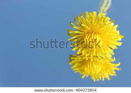 dandelion flower close up in blue water - stock photo