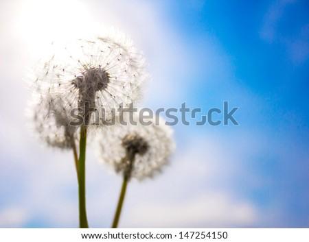 Dandelion flower field over blue sky - stock photo