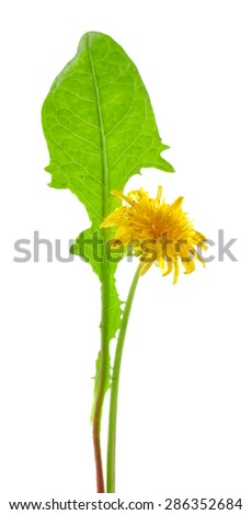 Dandelion flower isolated on white - stock photo