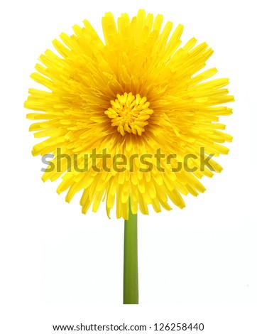 Dandelion flower isolated on white background.