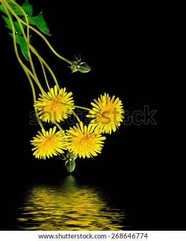 Dandelion flower on a black background - stock photo