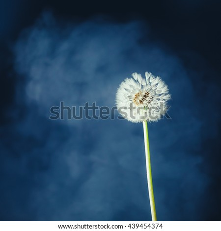 dandelion flower on fog background - stock photo