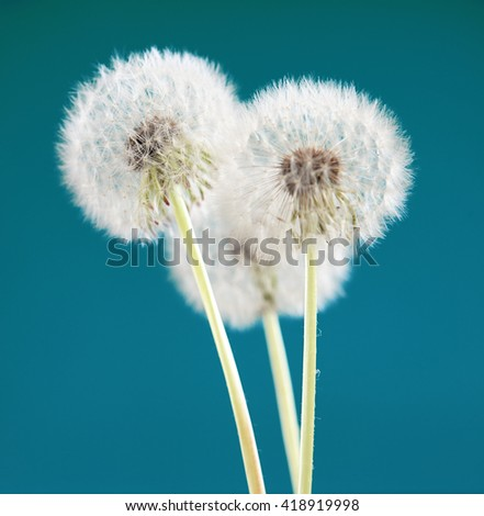 dandelion flower on green blue color background, many closeup object - stock photo