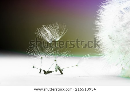 Dandelion flower seeds and head composition. Colorful macro background - stock photo