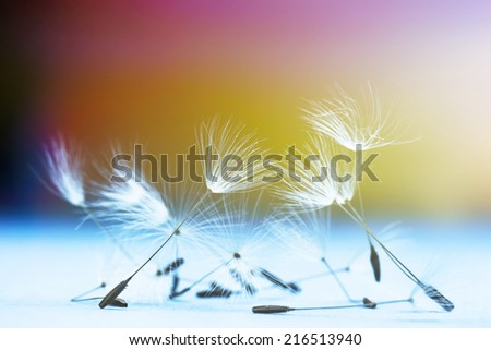 Dandelion flower seeds colorful macro background - stock photo