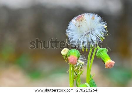 dandelion flower white - stock photo