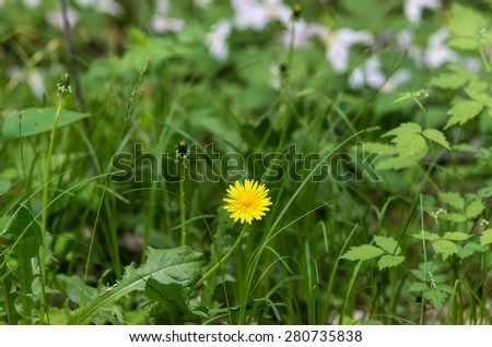 Dandelion flower with trilliums in backgrounds on a meadow - stock photo