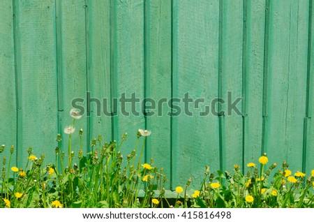 dandelion flowers agatnst green wooden wall - stock photo