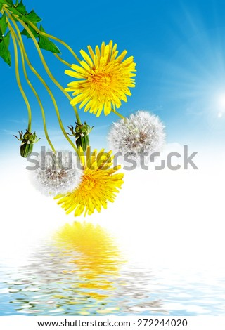 dandelion flowers and blue sky - stock photo