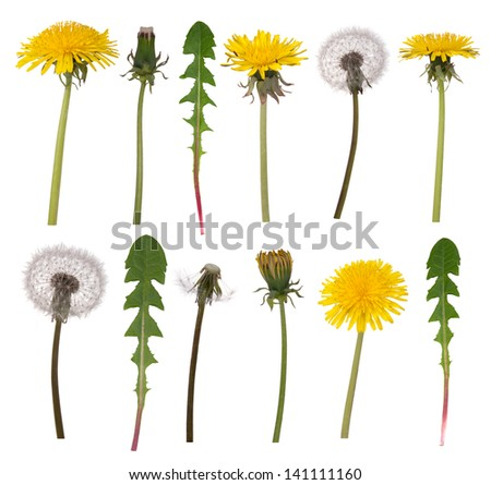 Dandelion flowers and leaves isolated on white background - stock photo