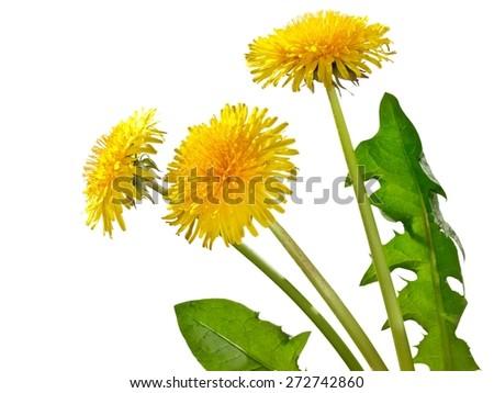 Dandelion flowers, close up - stock photo
