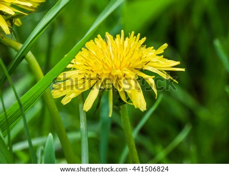 Dandelion flowers growing on spring field. Blooming Bright Yellow Dandelions closeup. - stock photo
