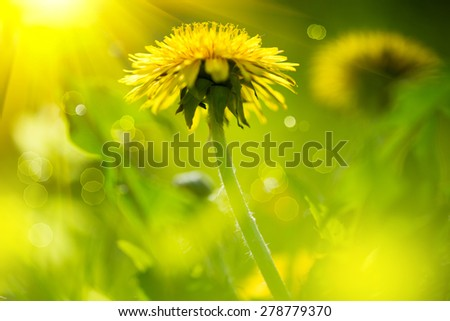 Dandelion flowers growing on spring field. Blooming Bright Yellow Dandelions closeup. Sun flare - stock photo