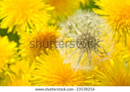 dandelion flowers in different stages - stock photo
