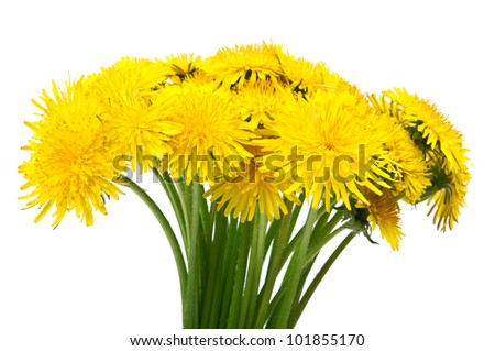 dandelion flowers isolated on a white background