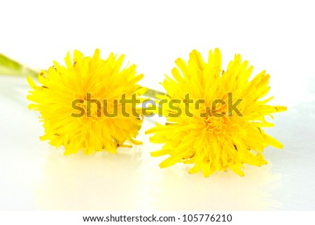 dandelion flowers isolated on white - stock photo