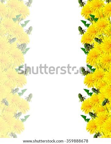 dandelion flowers isolated on white background. card - stock photo