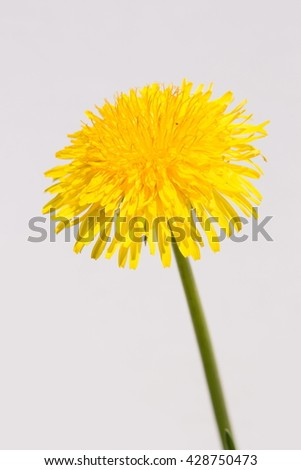 dandelion flowers on a white background