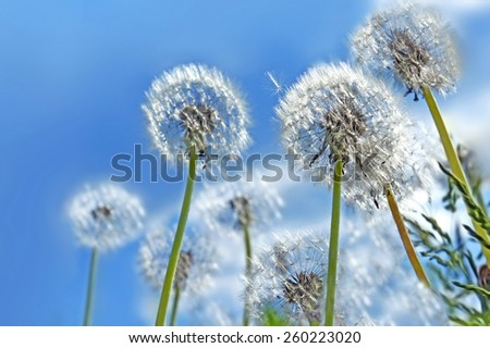 Dandelion flowers on blue sky background - stock photo