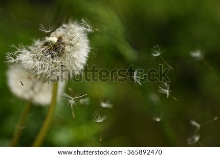 Dandelion fluff - stock photo