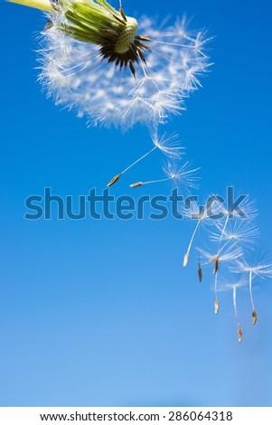 Dandelion fluff flying in air - stock photo