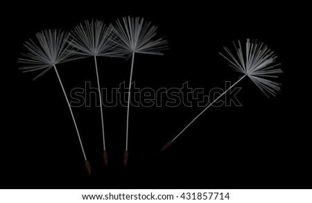 dandelion fluff on black - stock photo