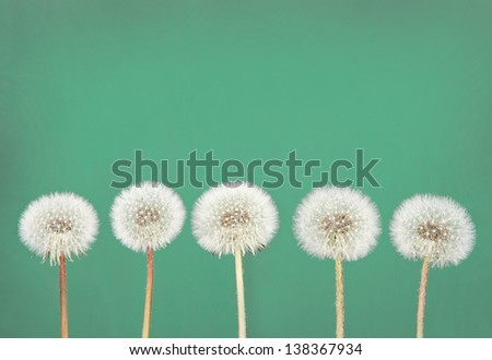 dandelion fluff or seeds on a teal background - stock photo
