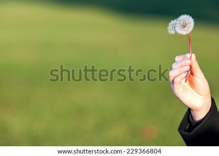 Dandelion handheld on green background  - stock photo