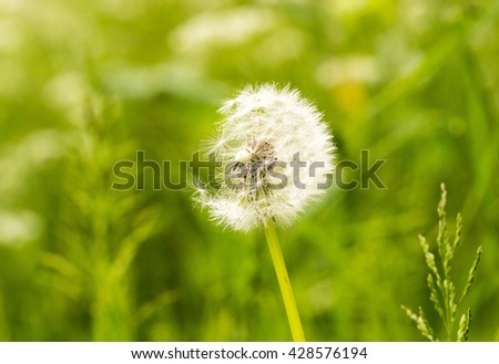 Dandelion head against a natural green grass background