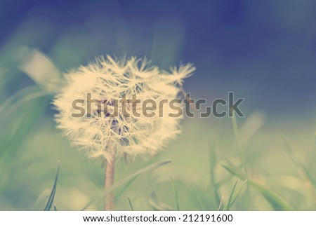 dandelion head in the wind with instagram style filter. - stock photo