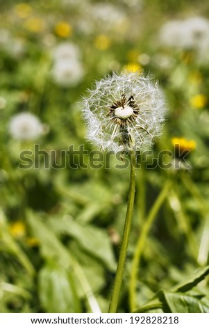 Dandelion head with seeds on the meadow in bright sunlight - stock photo