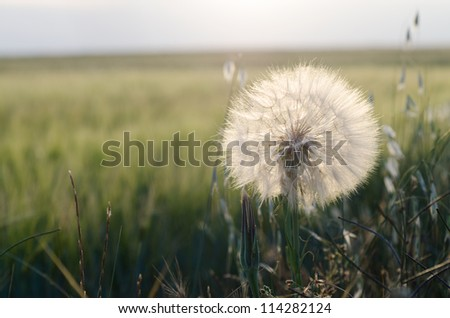 dandelion in a field of garden with evening light