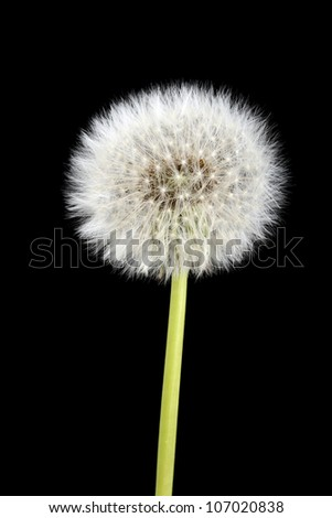 Dandelion in front of a black background - stock photo