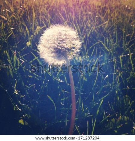 Dandelion in grass with lighting effects - instagram - stock photo