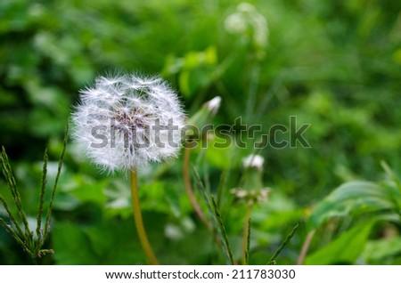 Dandelion in green grass - stock photo