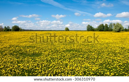 dandelion in green grass. Beautiful spring panoramatic shot with a dandelion meadow. Field of dandelions on background of the sky.