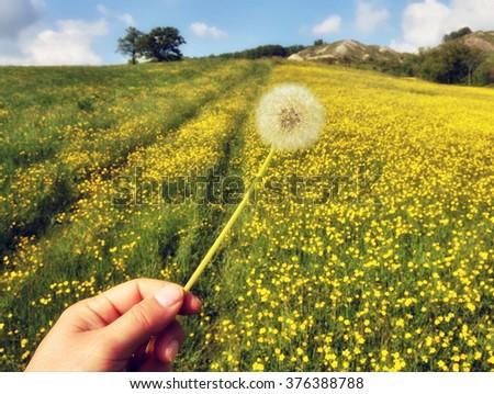 Dandelion in my hand in flowery filed in spring - stock photo