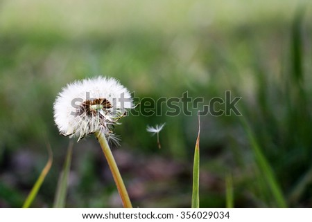 Dandelion in nature