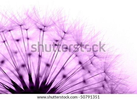 dandelion in purple - stock photo