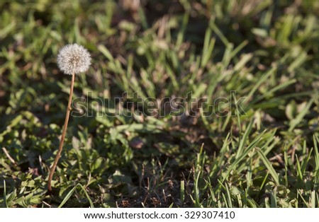 Dandelion in Seed with grass and left composition - stock photo