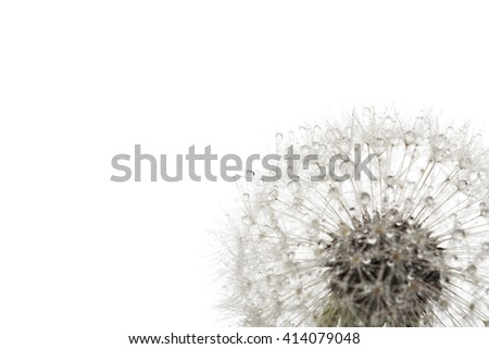 Dandelion in the dew drops isolated on white background, macro. - stock photo