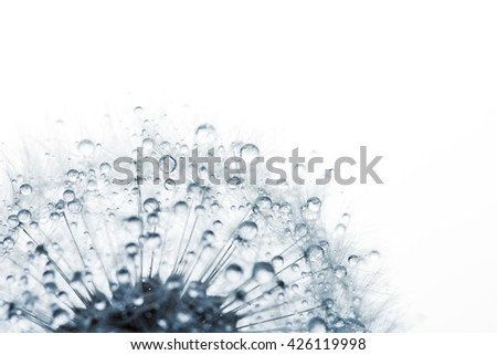 Dandelion in the dew drops on white background, macro. Place for text. Nature and eco concept. - stock photo