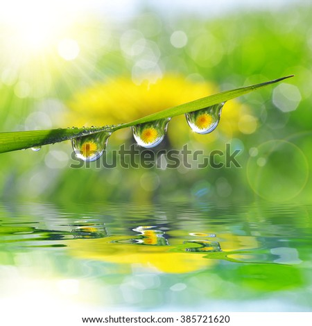 Dandelion in the drops of dew on the green grass. Nature background. - stock photo