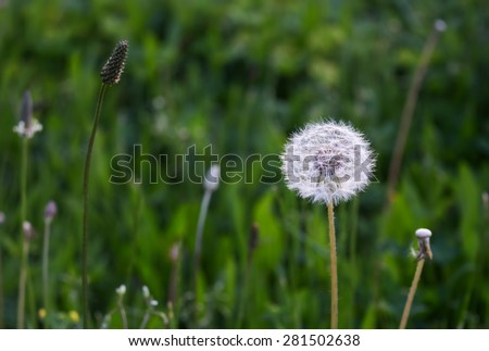Dandelion in the Grass Meadow in the early morning. Its green fresh color contrasting with a white bright color of dandelion. - stock photo